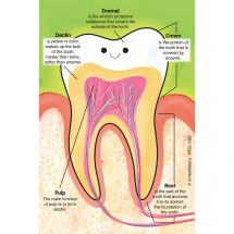 Custom Parts of a Tooth Recall Cards